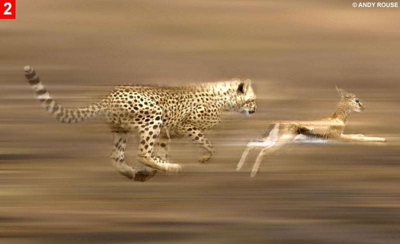 How Fast Do Cheetahs Run My Favorite Che...