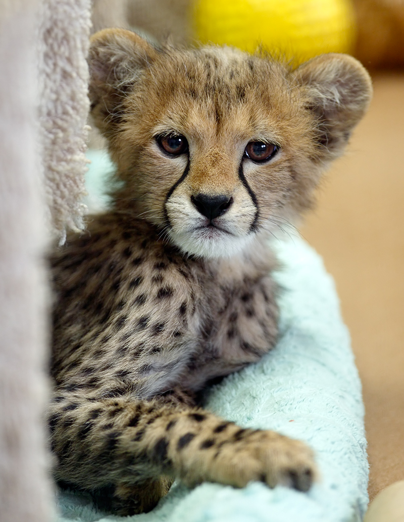 My Favorite Cheetah | I Want To Spend The Rest Of My Life ...